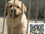 在哪里买纯种的拉拉幼犬 拉拉幼犬最低多少钱