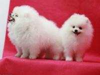 上海出售博美袖珍茶杯犬哈多利球型犬博美幼犬純種博美俊介寵物狗