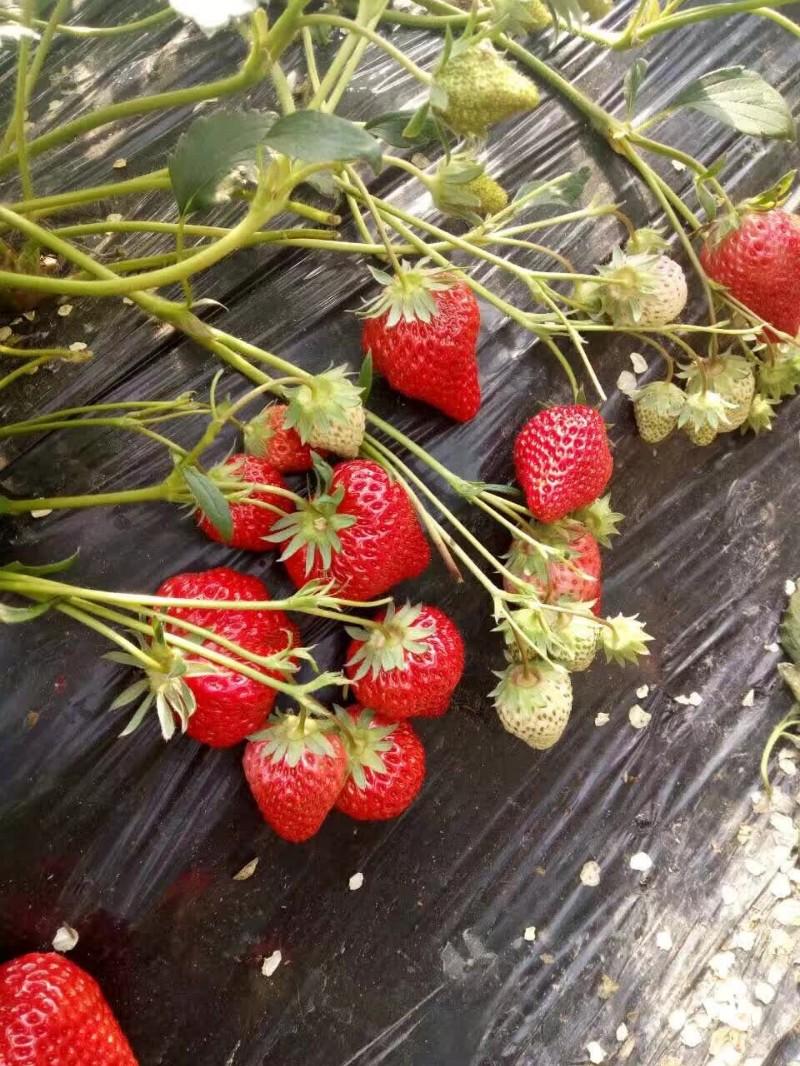 镇海陈氏草莓园家的新鲜草莓上市开摘啦
