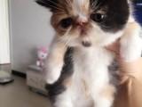 广州哪卖纯种加菲猫便宜广州宠物店加菲猫多少钱一只