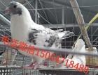 各地区观赏鸽报价、观赏鸽价格分析、观赏鸽市场价格