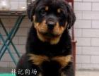 江门哪里有卖罗威纳犬 出售纯种罗威纳犬 3个月罗威纳