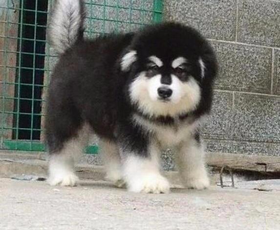 纯种阿斯拉加出售 巨型阿拉斯加犬 阿拉斯加多少钱