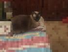 出手2岁泰国暹罗猫一只