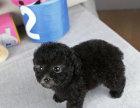 泰迪犬价格 泰迪犬多少钱一只 泰迪犬图片 泰迪熊犬