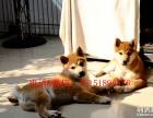 重庆哪里买纯种柴犬 重庆日系柴犬多少钱 纯种柴犬价格