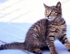 猫舍繁殖中国狸花猫 中国狸花猫多少钱一只 中国狸花猫图片