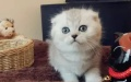 青岛哪里出售折耳猫 青岛折耳猫多少钱 青岛折耳猫哪家好