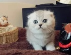 深圳哪里出售折耳猫 深圳折耳猫多少钱 深圳折耳猫哪家好