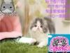 小米猫苑精品加菲猫多