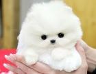直销纯种哈多利博美犬 纯种球体白色博美幼犬供您选