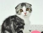 折耳猫宠物猫幼猫纯种活体苏格兰短毛猫江浙沪上门