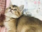 精品渐层幼猫出售疫苗齐全保健康签协议