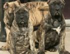 纯种意大利纯血统重头版卡斯罗护卫犬卡斯罗幼犬双血统,带出生纸