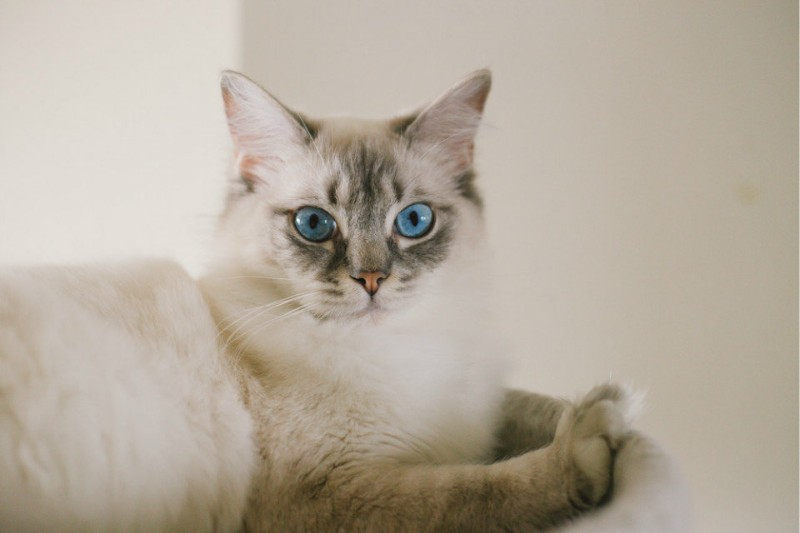 (美国布偶猫) 幼猫出售 疫苗驱虫做好包品质