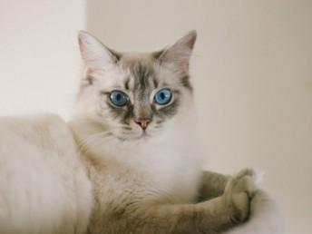 美國布偶貓 幼貓出售 疫苗驅蟲做好包品質
