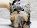 珠海 养养只狗狗发.约克夏在等着你带它回家.