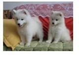 郑州哪有银狐犬卖 郑州银狐犬价格 郑州银狐犬多少钱