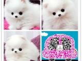 杭州哈多利球形博美犬,雪白的,很温顺又乖巧迷人的