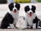 兰州纯种边境牧羊犬价格 兰州哪里能买到纯种边境牧羊犬