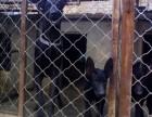 黑狼犬多少钱 精品黑狼犬2~4个月纯血幼犬出售