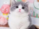湖南长沙猫舍直销蓝白幼猫价钱
