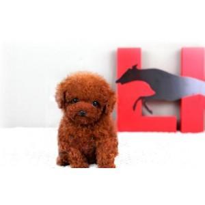 泰迪犬宠物纯种茶杯幼犬出售棕色超小体玩具型贵宾犬家养活体狗狗