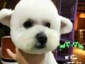 白色纯种比熊母犬,巧克力色泰迪母犬,找配种