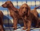 东莞那里有威玛猎犬卖 东莞威玛猎犬价格 威玛猎犬多少钱
