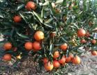湖南千思农林世纪红柑橘苗包成活率协助果农销售果品