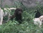 纯种犬舍直销拉布拉多宝宝 希望能够找到喜欢他的主人