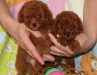 武汉出售泰迪 狗狗保证健康纯种 有多条挑选