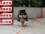 哪里有出售售精品巨型阿拉斯加幼犬红色 黑色 多少钱