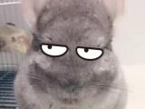 龙猫米色弟弟转出