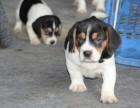 石家庄哪里卖纯种比格犬 石家庄比格猎犬多少钱 石家庄猎犬价格