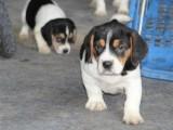 贵阳哪里卖纯种比格犬 贵阳比格猎犬多少钱 贵阳猎犬价格是多少