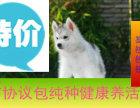 三火蓝眼哈士奇幼犬包健康纯种.品质包终身可上门