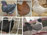 山东肉鸽价格|肉鸽价格|目前肉鸽价格 什么地方有肉鸽养殖场