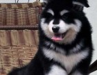 广州出售宠物狗狗纯种阿拉斯加雪橇犬幼犬活体巨型阿拉斯加幼犬