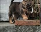 打猎看家土猎犬专卖品相好 优质售后服务