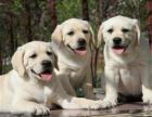 本地出售拉布拉多犬 品相** 疫苗齐全