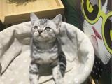北京怀柔纯种虎斑幼猫价格
