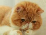北京順義純白加菲貓一般多少錢一只