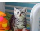 美国短毛猫 起司猫 美短加白 幼猫虎斑