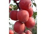 想买品种好的苹果苗上哪-一边倒苗木种植技术