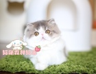 纯种加菲猫出售 疫苗做齐 终身质保签协议