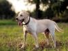 西安拉布拉多犬博美犬