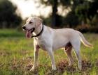 西安拉布拉多犬博美犬一萨摩犬 哈士奇巴哥犬阿拉犬等包犬瘟细小