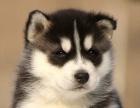 家养纯种蓝眼三火小哈士奇幼犬出售 可上门可发货