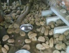 养殖基地批量出售种苗刺猬海狐鼠